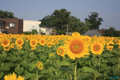 坂出市江尻町のひまわり園